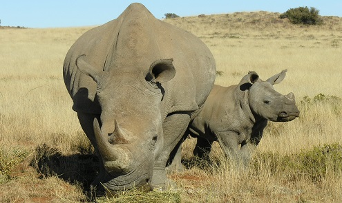 21st Century innovations being used to save the Rhino
